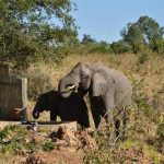 An elephant drinking from a small pool