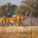 Two lions walking on a sandy river bank