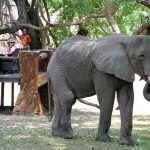An elephant feeds close to a deck where people are sitting