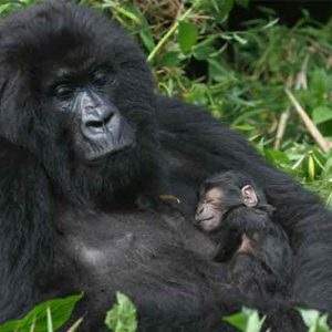A gorilla with her baby on her chest in the forest