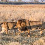 two lions walking in the bush