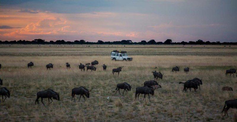 wildebeest, animals, liuwa plains, africa, landrover, grass, sunset, clouds