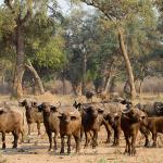 africa, buffalo, herd, animal, bush