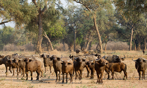 africa, buffalo, herd, animal, bush