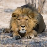 A male Lion staring aggressively