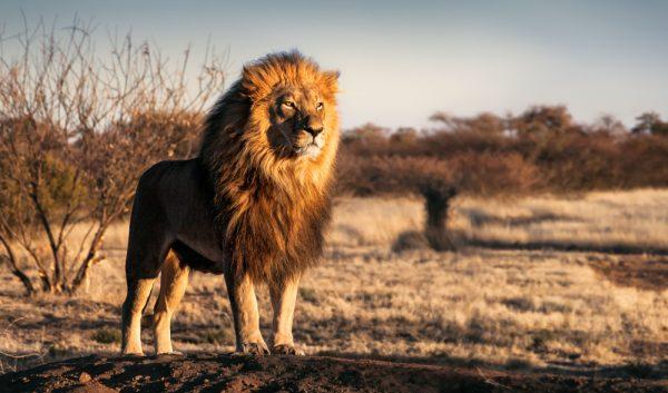 lion, male, africa, animal