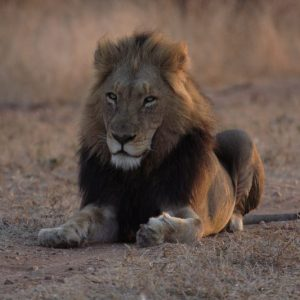 black maned male lion sitting on the ground