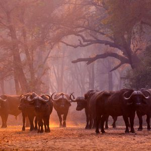 A herd of Buffalo in fading light in a forest clearing