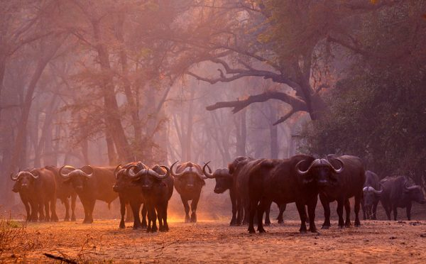 animal, africa, buffalo, wild, safari, forest