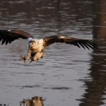 An African Fish Eagle in mid air over water