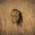 lion, grass, africa, animal, wildlife, zambia
