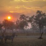 Zebra in the African savanna at sunset