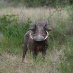 A Warthog in Kruger National Park