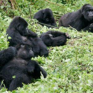 uganda, gorilla, bwindi, impenetrable, forest