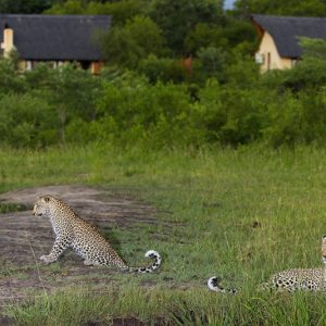 leopards mating in front of elephant plains game lodge