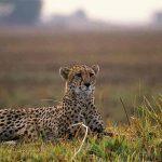 A Cheetah resting on an open plain