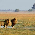 two lions standing on the open plains fo Busanga