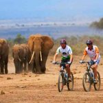 People riding bicycles with a herd of elephant in the background