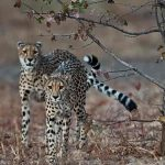 Two Cheetah walking in the Mopane forests close to Nanzhila Plains Camp