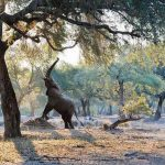 an elephant under a tree reaching for branches