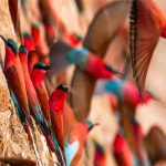 carmine bee eaters at their nest ina river banl