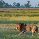 A lion walking in the Okavango Delta