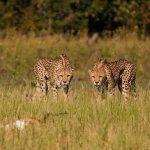 Two Cheetah stalk an antelope at Changa