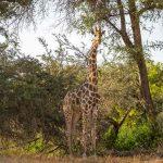 A Giraffe stands amongst tall trees