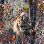 A Lion resting in dappled shade
