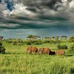 A herd of elephants walking in long green grass