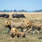 A pride of lions walking on the plains