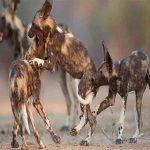 three wild dogs play at mana pools
