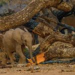 A baby elephant at a tree trunk feeding