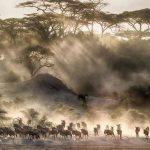 A herd of Wildebeest crossing a river in Kenya