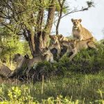 A pride of Lions resting in long grass