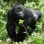 A large male Gorilla in Bwindi Impenetrable Forest
