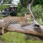 A Leopard rests on a dead tree with vehicle in the background at Seba