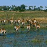 A herd of Lechwe walking in a swamp