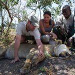 People collar a sedated lion
