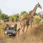 A giraffe walking across a road with a vehicle and people watching