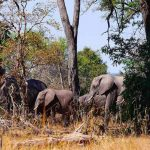 a herd of elephants in thick bush in the linyanti bush