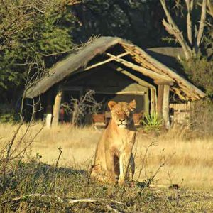 A lioness sits in front of a guest tent at The Hide Safari Camp