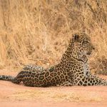 a leopard resting on sand