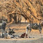 A pack of Wild Dogs resting