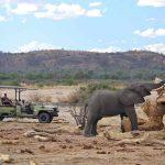An elephant bull feeding on a tree