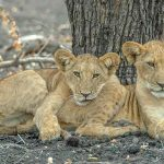 two lion cubs resting under a tree