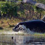 Hippo running into water