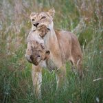 A Lioness carries a cub in her mouth