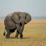 Elephant walking through grass