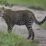 A leopard standing in a road